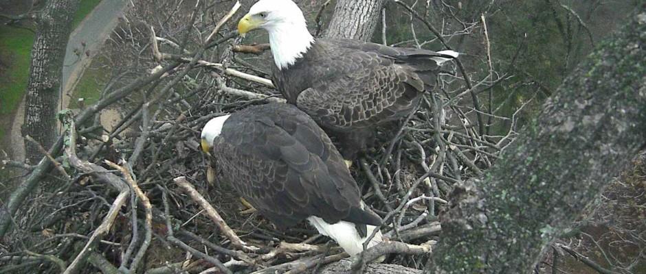 Eagles Return To The Arboretum